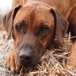 Brauner Hund liegend im Stroh