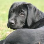 Schwarzer Hund liegend im Gras